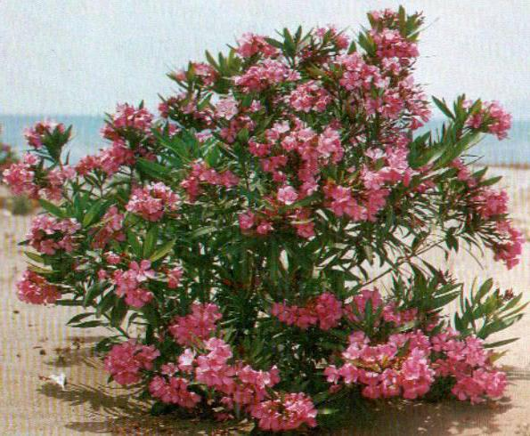 Little white flowers name pink flowers fuchsia and their photos flower when it grows the pot must be transferred for winter to an unheated room and in summer to the garden or to the balcony mightylinksfo
